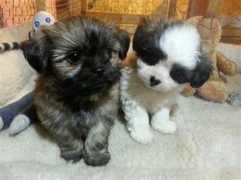 bichon shih tzu alberta bichon shih tzu puppies for sale other south saskatchewan location