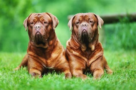 largest breed of world largest breed of dogs goldenacresdogs
