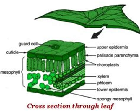 Cross Section Of A Plant by Plants Leaves