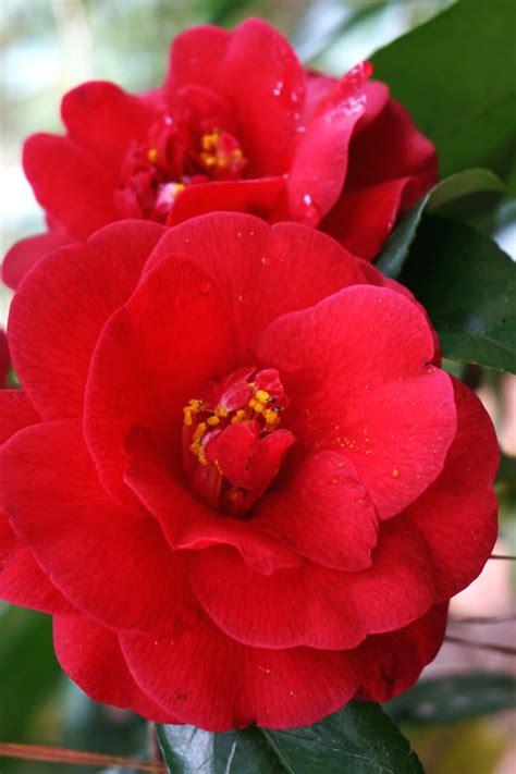 buy rose hill red camellia japonica bush  sale