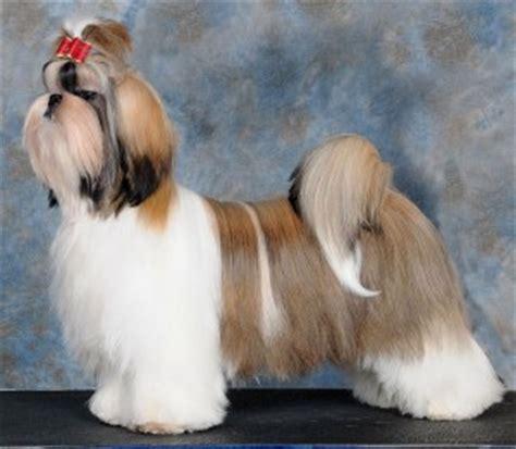 canadian shih tzu club top 10 shih tzu puppies 2010
