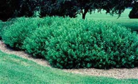 slender deutzia deutzia gracilis