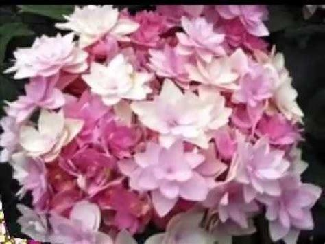 fiori mese di luglio un fiore al mese luglio ortensia