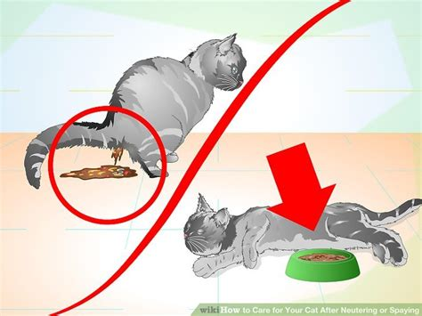 care after spaying how to care for your cat after neutering or spaying