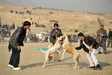 pitbull fight pitbull pictures images and photos of american pitbull terrier pets world