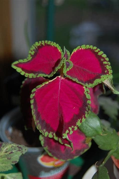 coleus plant care  collection  varieties gardenorg