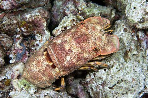 slipper lobster slipper lobster photograph by matthew oldfield