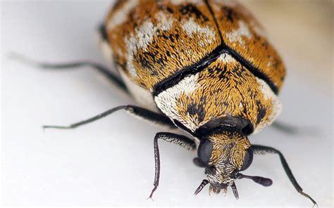 rug beetle carpet beetle brooker pest