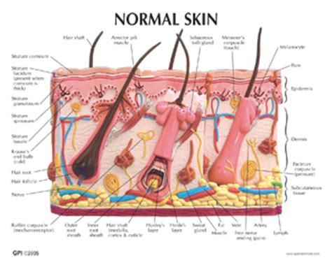 Spl Normal New Pack Spl Skincare Normal human skin and acne model 3751 for sale anatomy now