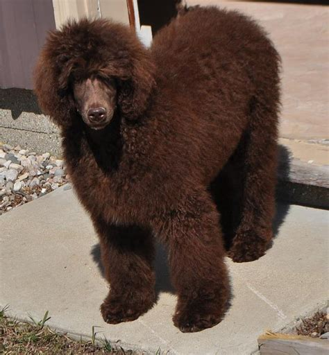 standard poodle puppies brown standard poodle motorcycle review and galleries