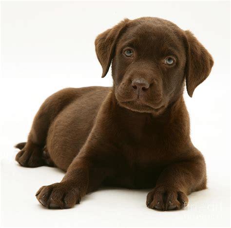chocolate retriever puppy chocolate labrador retriever puppy photograph by burton