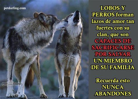 imagenes de lobos chidas 12 curiosidades sobre lobos