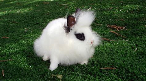 coniglio nano testa di la diffusione coniglio testa di geisoft