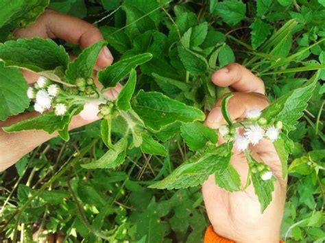 manfaat daun tanaman ageratumbandotan  mengatasi