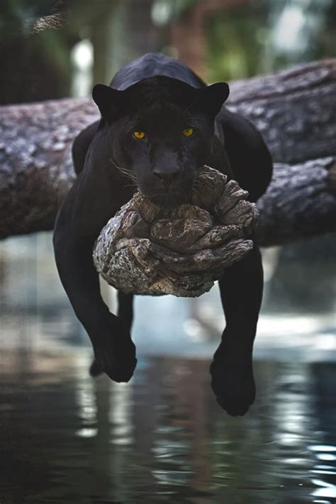 world of reading black panther this is black panther level 1 books 25 best ideas about black panther on