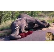 Elephant SHOT Attacks And Flips Car  SANParks Shame On You YouTube