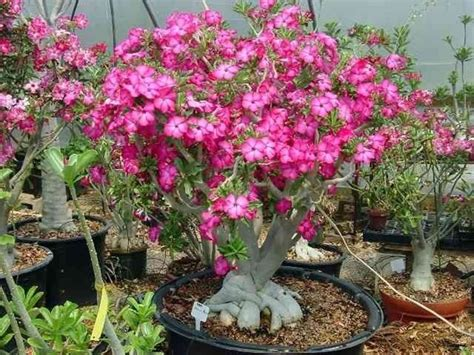 pianta grassa con fiore rosa rosa deserto pianta piante grasse caratteristiche