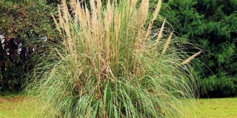 garten gräser schneiden pasgras schneiden anleitung f 252 r einen r 252 ckschnitt