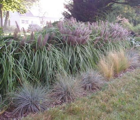 ornamental grasses as hedge ornamental grasses pinterest