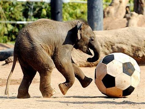 elephants playing soccer  nepal youtube