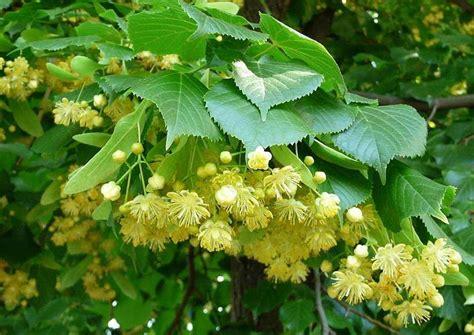fiori di tiglio tiglio benefici propriet 224 uso tisana rimedi naturali