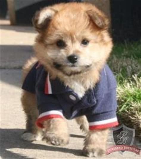 pomeranian poodle mix hypoallergenic our new pomapoo puppy named braidy hairstyles photos