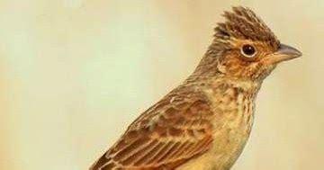 Harga Pakan Burung Branjangan jenis jenis dan ciri burung branjangan serta dari daerah