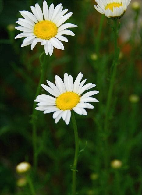 flower picture daisy flower 3 three small daisy flowers jpg hi res 720p hd