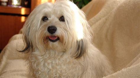 bischon havanese bichon havanese the cutest breed of