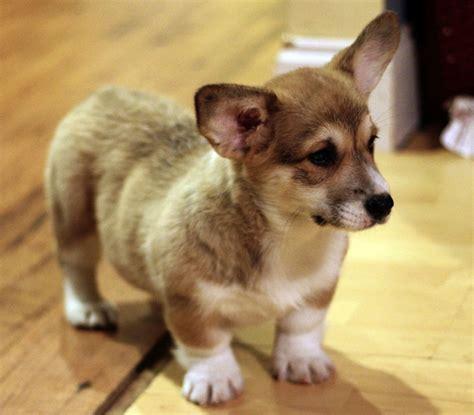 corgi mix puppies overview for coady l