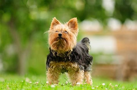 best way to a yorkie puppy 7 best ways to calm your terrier reference