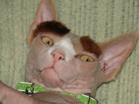 cat tattoo eyebrows eyebrows for a hairless cat silly cat pinterest best
