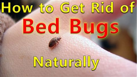 rid  bed bugs naturally bed bug treatment naturally treatment  bed bug youtube