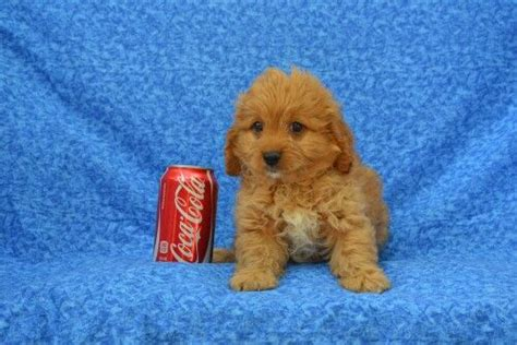 cavapoo puppies for sale ny cavapoo puppies for sale island ny www islandpuppies 631 624 5580 island