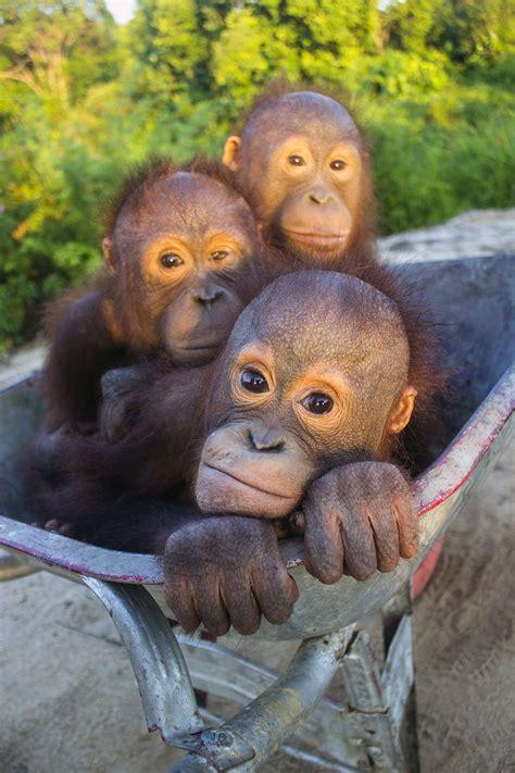 orangutan rescue projects international animal rescue