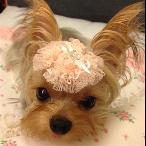 hair accessories for yorkie poos 62 best images about yorkies on pinterest pet