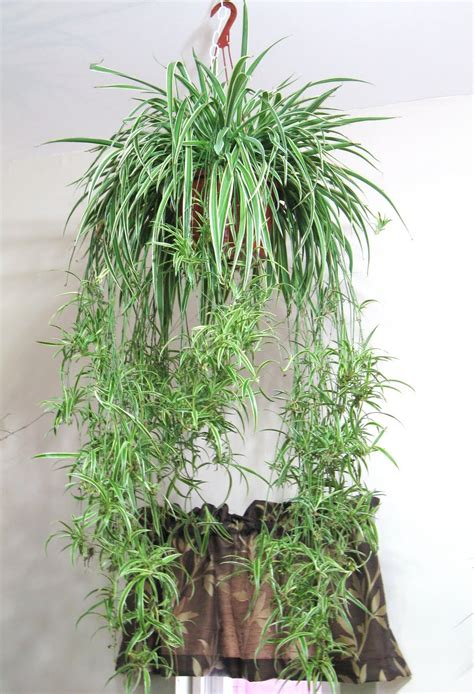 hanging plant dowd s flower shop new hanging plants