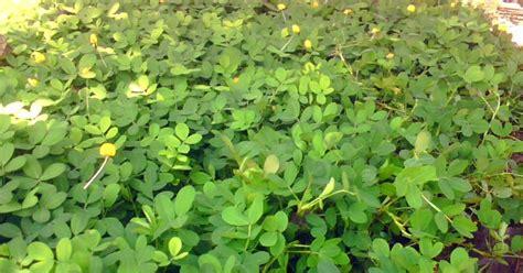 pohon landep kacang kacangan jual tanaman hias
