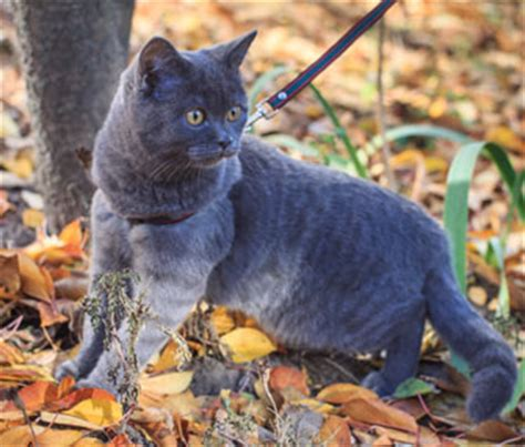 how to your on a lead how and where to walk your cat on a leash