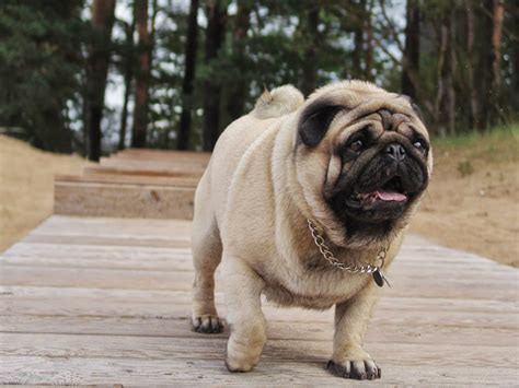 pug at pug valli at home and outdoor gifts for pug
