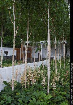 silver birch small garden google search new garden