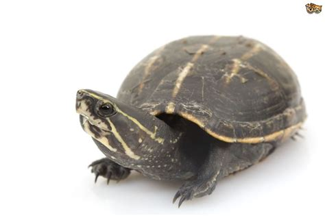 Caring for a pet mud turtle   Pets4Homes