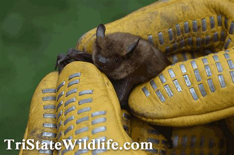 bat trapped in room bat removal in westchester ny tristate wildlife management