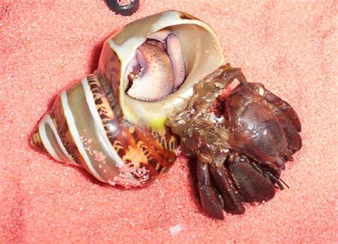 Hermit Crab Shedding by Davis Discusses Keeping Hermit Crabs