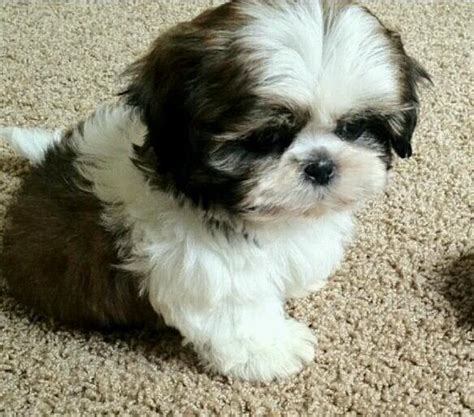 where to buy shih tzu puppies shih tzu puppy breeder shih tzus puppies for sale shihpoo puppy breeds picture