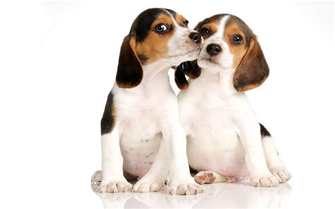 puppy facts for beagle puppies pictures facts diet habitat behavior span