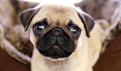 alimentazione carlino carlino carattere e caratteristiche della razza canina
