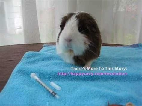 how to apply revolution topical guinea pig mite