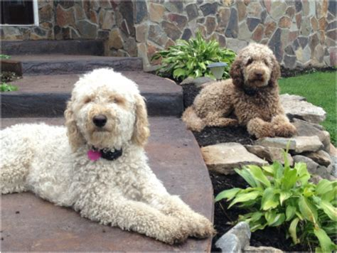 mini goldendoodles western ny goldendoodles for sale in western ny breeds picture
