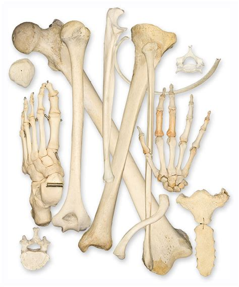 A Of Bones welcome to amazing world the bone a marvel of creation